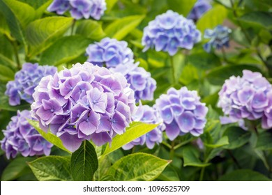 Closeup of a purple and blue flowering Hydrangea macrophylla plant on a sunny day in the Dutch summer season.