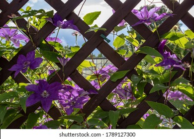 Closeup of purple climbing clematis flowers (Clematis viticella) with green leaves on wooden fence in the garden.