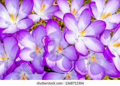 Closeup of purple crocus flowers blossoms