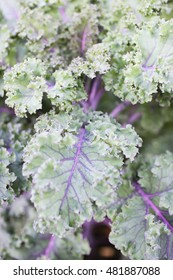 Close-up of purple decorative cabbage with details of veins in the curly leaves