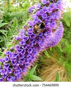 close-up of   purple echium flower and bumblebee in kettering,  tasmania, australia