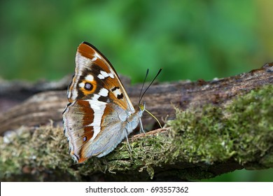 Closeup of a Purple Emperor butterfly on a branch