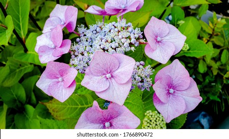 Closeup of the purple flower of hydrangea macrophylla, also commonly known as bigleaf hydrangea, penny mac and hortensia