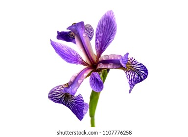 Closeup of a purple iris blossom isolated on a white background