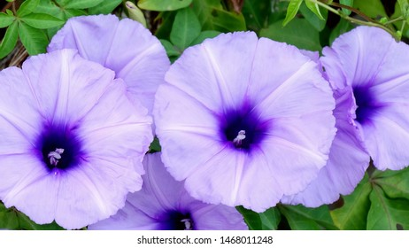Closeup of purple ivy morning glory flowers, a species of Ipomoea. The genus occurs throughout the tropical and subtropical regions of the world, and most of the species are twining climbing plants.
