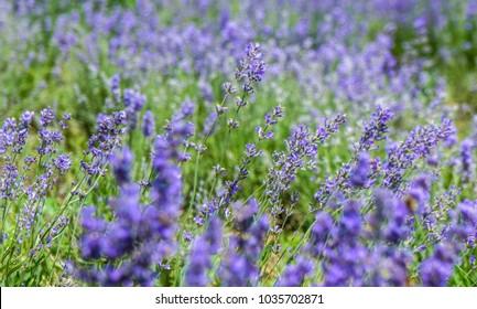 Closeup of a Purple Lavender in Bloom, Lavandula Angustifolia Field Garden in Europe