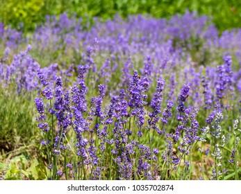 Closeup of Purple Lavender Flower Blossoms in a Field of Lavandula Angustifolia in Europe, Romania