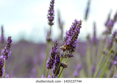 Close-up of purple lavender flowers with bee, with bokeh. Natural pollinator insect at sustainable agriculture fields in Provence, France