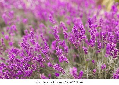 Closeup of purple lavender flowers. Selective focus