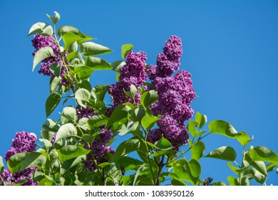 closeup of purple lilac branch in full bloom