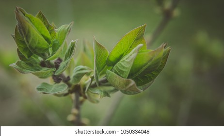Closeup of purple lilac (syringa vulgaris) buds and leaves in the springtime before the flowering, Copyspace for writing, suitable as postcard. 16:9 aspect ratio. Vintage style.