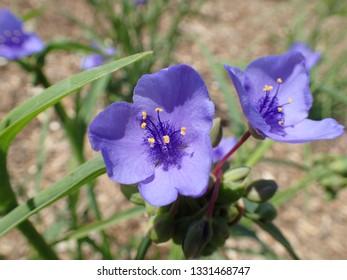 Closeup of Purple Ohio Spiderwort flower Tradescantia ohiensis