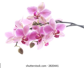 Closeup of a purple orchid - high key image