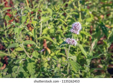 Closeup of a purple, pinkish and lilac colored flowering water mint or Mentha aquatica plant in its own natural marshy habitat. It is  in the beginning of a summer evening with low sunlight.