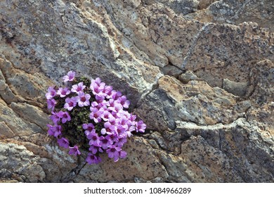 Closeup of Purple Saxifrage flowering at rocks on sunny day at early spring in Norway.