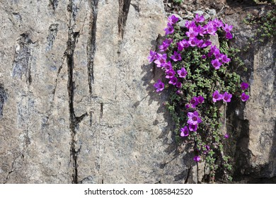 Closeup of Purple Saxifrage flowering at rocks on sunny day at early spring in Helgeland, Norway.