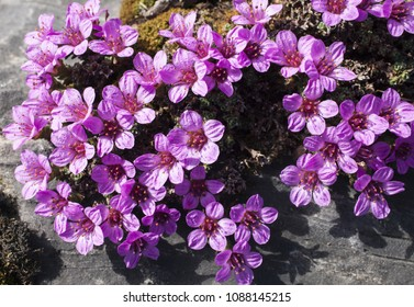Closeup of Purple Saxifrage flowers in sunlight.