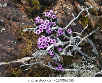 Closeup of Purple Saxifrage on stone betweed dead gray branches and moss. Photographed in Helgeland, North Norway.