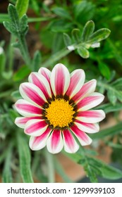 Close-up of purple striped Daisy flower in species Chrysanthemum in garden; pale white and violet colored  gazania flower.