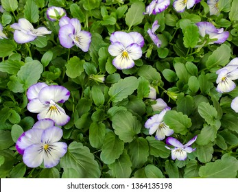 closeup of purple and white pansy blossoms on plant