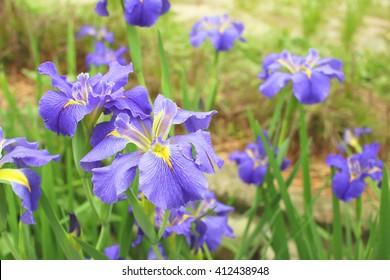 Closeup of purple wild iris flowers