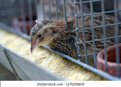 Closeup of quail, eating in cage trough