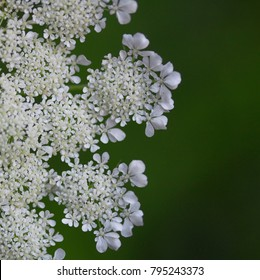 Closeup Queen Anne's Lace (Daucus carota) delicate lacy petal pattern with a soft green background with room for text