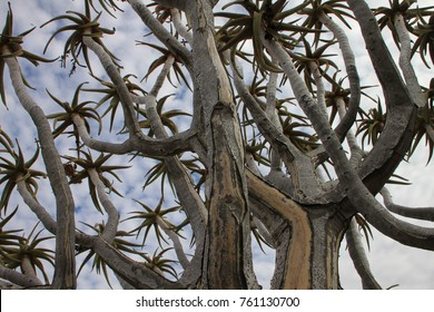 Close-up of Quiver Tree branches growing in dolerite rock formation in Namibia