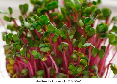 Close-up of radish microgreens - green leaves and purple stems. Sprouting Microgreens. Seed Germination at home. Vegan and healthy eating concept. Sprouted Radish Seeds, Micro greens. Growing sprouts.