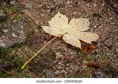closeup of rain drops on autumnal maple leaf falling on the floor