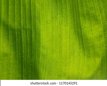 close-up of rain drops over a banana tree leaf
