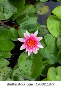 Close-up the rain drops water of beautiful Pink and red water lily or Lotus flower) with leaf in pond