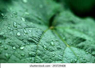 closeup of raindrops on grape leaves
