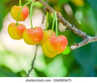 Close-up Rainier cherries hanging on branch at Yakima Valley, Washington, USA. Organic fresh raw whole cherry on tree with bokeh backlit. Harvest season in Pacific Northwest background