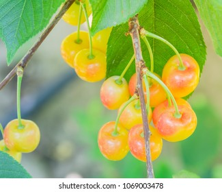 Close-up Rainier cherries hanging on branch at Yakima Valley, Washington, USA. Organic fresh raw whole cherry on tree with bokeh backlit. Harvest season in Pacific Northwest background
