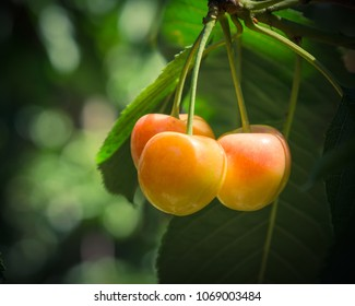 Close-up Rainier cherries hanging on branch at Yakima Valley, Washington, USA. Organic fresh raw whole cherry on tree with bokeh backlit. Harvest season in Pacific Northwest background. Vintage tone