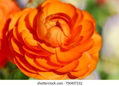 Closeup of a Ranunculus or Buttercup flower