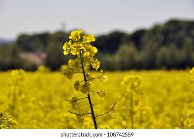 Closeup of rape seed flower in field of rape crop