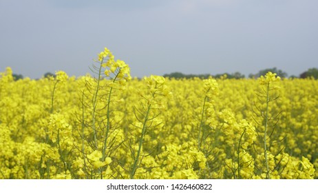 A closeup of a rapeseed (canola) flower with a beautiful yellow color and the rest of the field out of focus, it is grown for vegetable oils but can also be used for the production of biodiesel