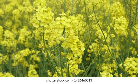 A closeup of rapeseed (canola) flowers with a beautiful yellow color and green stems, it is grown for vegetable oils but can also be used for the production of biodiesel