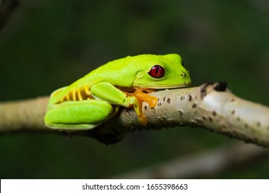 Closeup of a rare locality of the famous red eyed tree frog. This is the pacific locality with red flanks instead of blue.