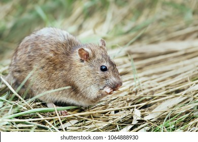 Close-up of a rat feeding in the field.