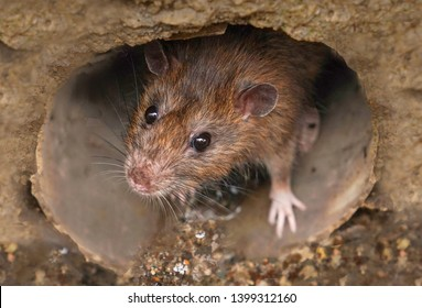 Closeup of a rat looking toward the camera from sewer