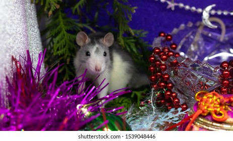 Close-up of a rat looks out of his refuge, symbol of 2020.