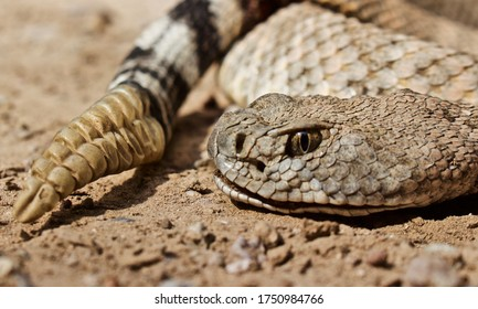 Closeup of rattlesnake head and tail
