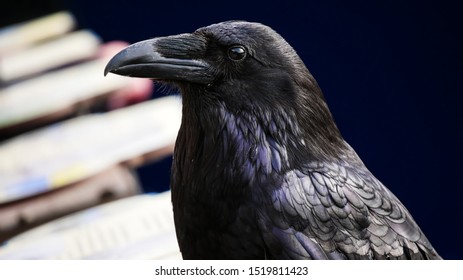 Closeup of Raven (Corvus corax) with beautiful blurred background