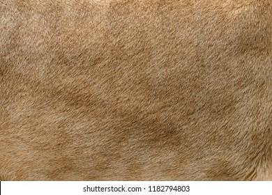 Closeup real lion skin texture. Lion fur background texture image background