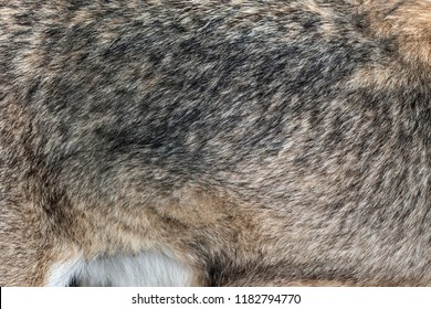 Closeup real wolf skin texture. Wolf fur background texture image background