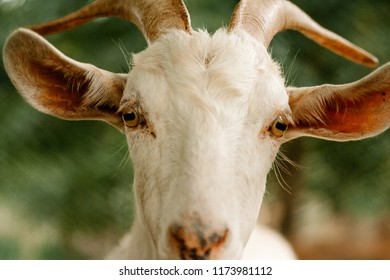 closeup of a really beautiful goat :))) vitage tones, with desaturated tones