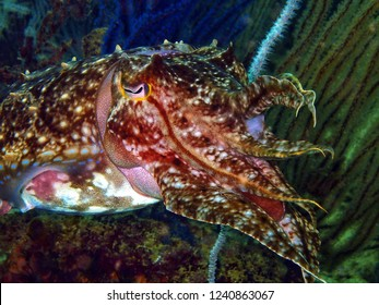 Closeup with Reaper cuttlefish during leisure dive in Tunku Abdul Rahman Park, Kota Kinabalu, Sabah. Malaysia, Borneo.